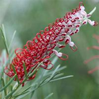 Grevillea Kings Celebration