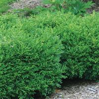 Buxus Franklin's Gem