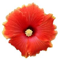 HibisQs<sup>®</sup> Multi-Tropic Orange Hibiscus