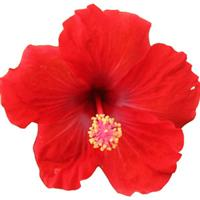 HibisQs<sup>®</sup> Multi-Tropic Red Hibiscus
