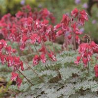 Dicentra Burning Heart