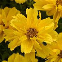 Sun Drop Double Yellow Bidens