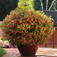 Terracotta Calibrachoa