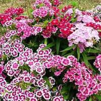 Indian Carpet Mix Dianthus Barbatus