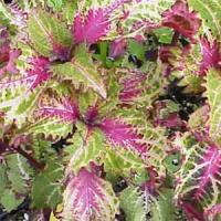 Peters Wonder Coleus