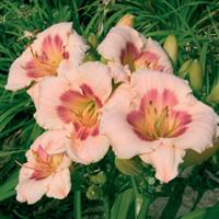 Hemerocallis Blush 'N Pink Eye